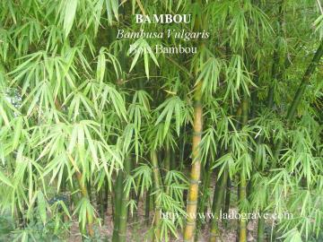 bambou m decine des plantes ladograve. Black Bedroom Furniture Sets. Home Design Ideas