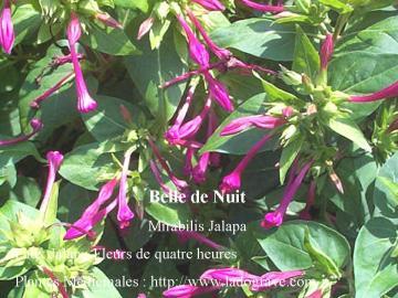 Belle de nuit m decine des plantes ladograve - Belle de nuit plante ...